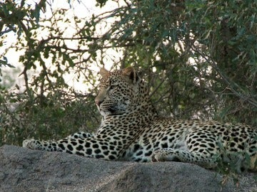 El Mundo Today - El leopardo: el ancestro más letal del hombre - La naturaleza de la realidad