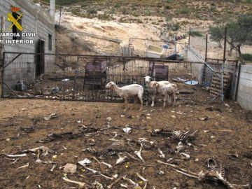 Otro caso de maltrato animal con ovejas