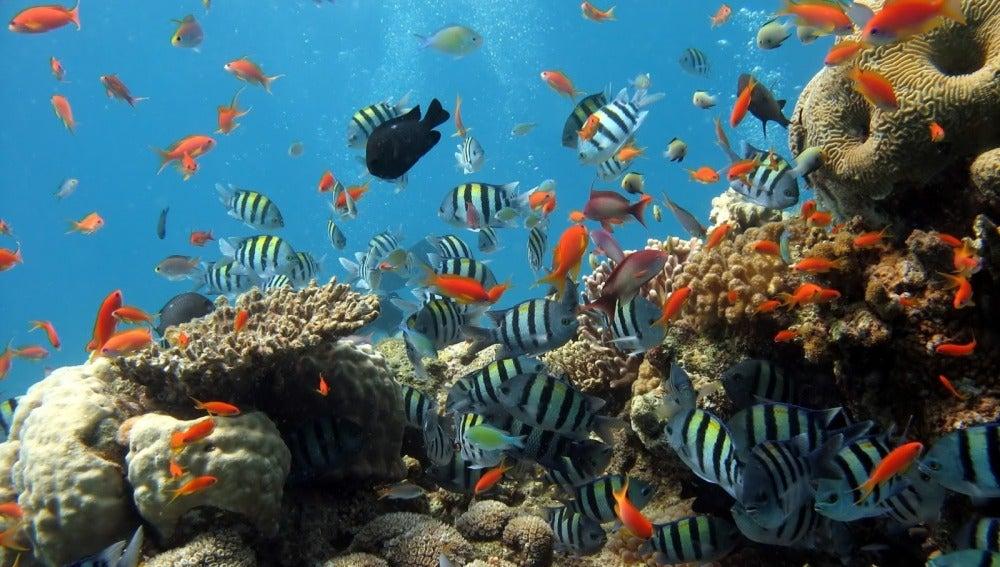 Los peces coralinos también se estresan si pierden peso y si son separados de sus padres