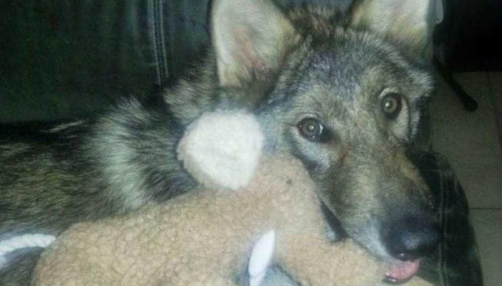 Como en 'Juego de Tronos': adopta un perro y en realidad es un lobo