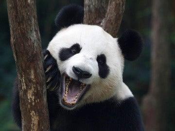 Jia Jia, el oso panda más longevo en cautividad