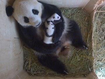 Las dos crías de panda nacidas en agosto