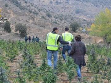 Plantación de marihuana en Teruel