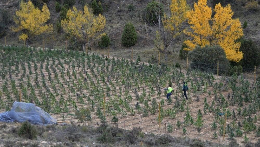 Plantación de marihuana en Villarluengo, Teruel