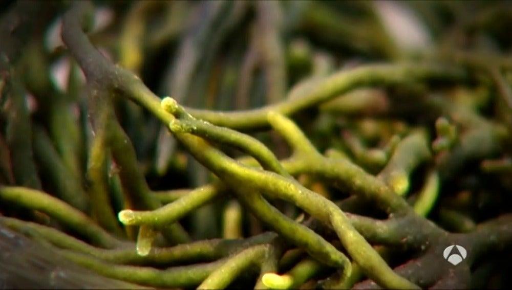 Frame 0.0 de: Descubre la 'lechuga del mar', las algas, un ingrediente más en nuestros platos