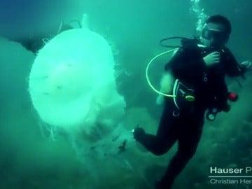 Frame 18.665105 de: Medusa gigante en Puerto Vallarta