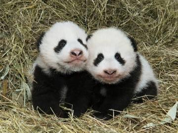 Fu Ban y Fu Feng, los osos panda gemelos
