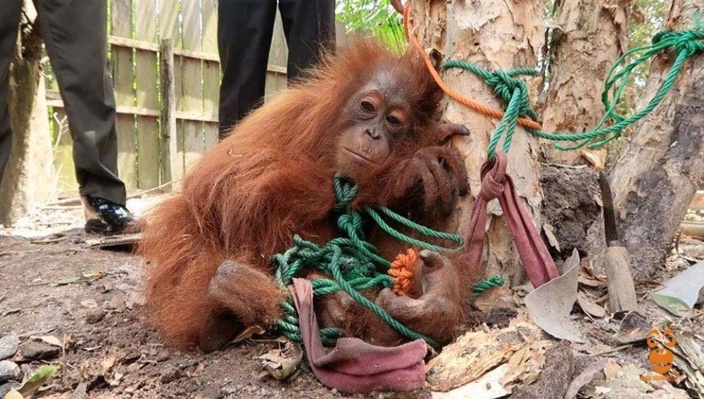 Rawit, el orangután rescatado