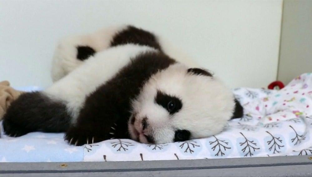 Frame 13.14665 de: El Zoo de Atlanta crea un sitio web para escoger el nombre de unos osos panda gemelos