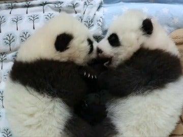 Frame 21.588648 de: El Zoo de Atlanta crea un sitio web para escoger el nombre de unos osos panda gemelos