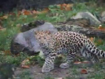 Frame 13.961608 de: Se presenta en público una cría Leopardo de Amur, una especie en extinción