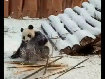 Frame 16.524391 de: Un panda gigante juega en la nieve en un parque de China