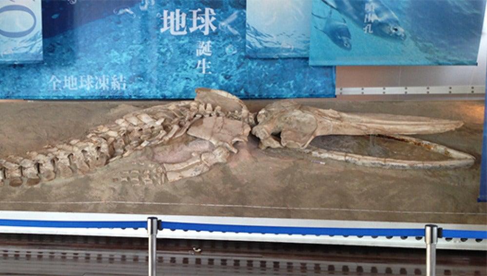 Esqueleto fósil de una ballena peruana expuesto en Japón