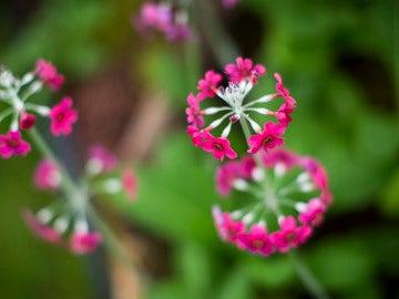 Flor Primula