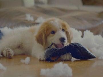 Un perro muerde el tacón de un zapato después de destrozar un cojín