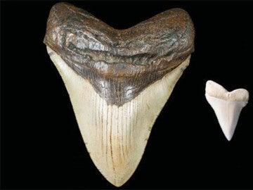Dientes fosilizados