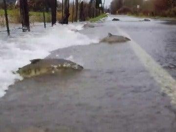 Frame 3.790113 de: Varios salmones intentar cruzar una carretera para ponerse a salvo
