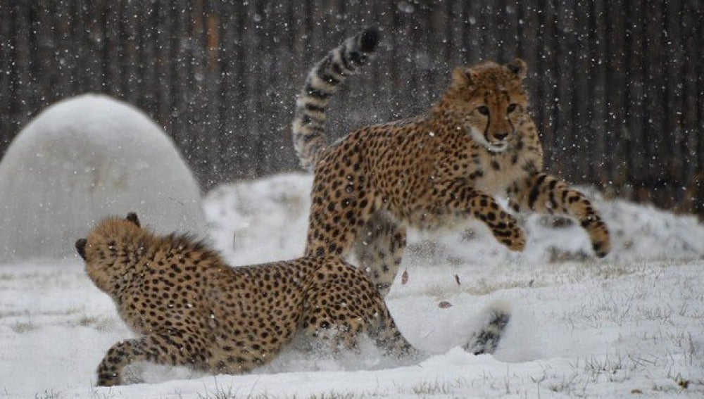 Leopardos jugando en la nieve