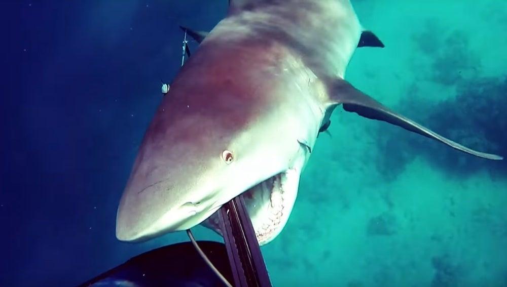 El tiburón en el momento del ataque