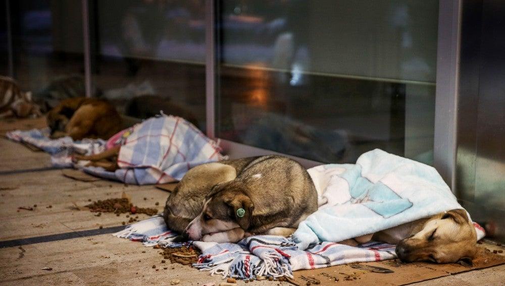 Perros callejeros en Estambul