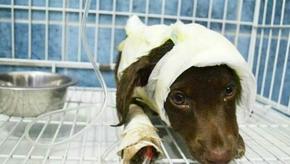 Chocolate, el perro que murió tras ser despellejado