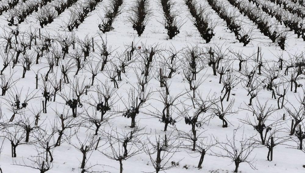 Foto de archivo de un campo de viñas en Requena (Valencia) cubierto de nieve