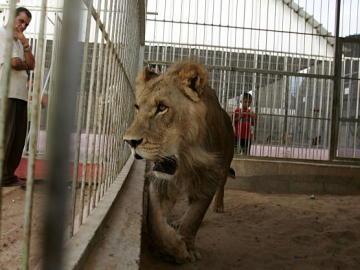 Un león dentro de una jaula
