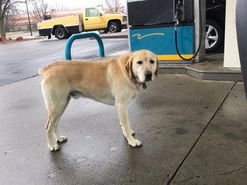 Dew, el perro que se dedica a saludar a nuevos habitantes de Kentucky (EEUU)