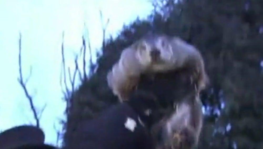 Frame 7.111717 de: La marmota Phil pronostica seis semanas más de invierno en EEUU