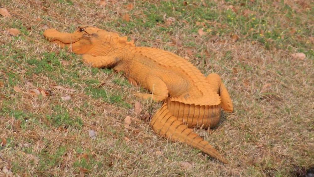 Caimán naranja hallado junto a un estanque