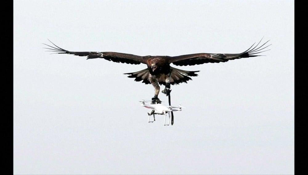 Frame 15.987555 de: Francia entrena a las águilas para capturar drones en pleno vuelo