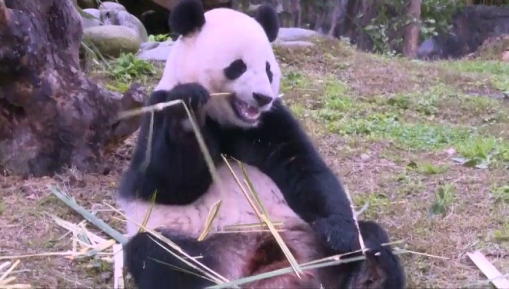 Frame 6.106066 de: El panda gigante Bao Bao comienza su nueva vida en China sin problemas