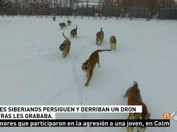 Varios tigres persigue a un dron y lo destrozan de un zarpazo mientras los grababa