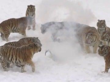 Frame 26.498344 de: Varios tigres siberianos se lanzan a la caza de un dron y lo consiguen