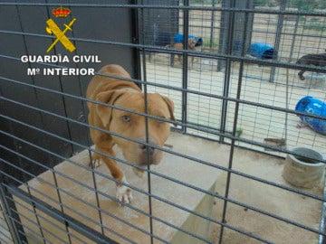 Criadero de perros peligrosos en Alicante