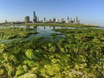 Algas verdes en Kuwait (28-02-2017)