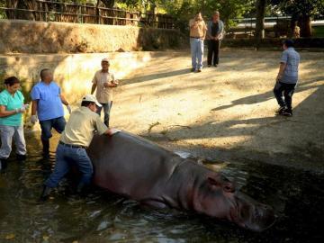 'Gustavito', el último hipopótamo del zoo de El Salvador