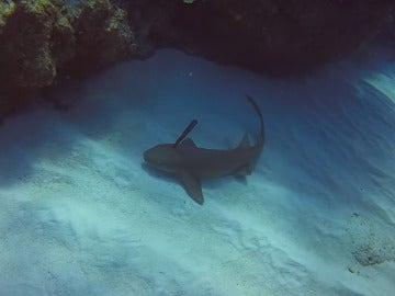 Tiburón con un cuchillo clavado