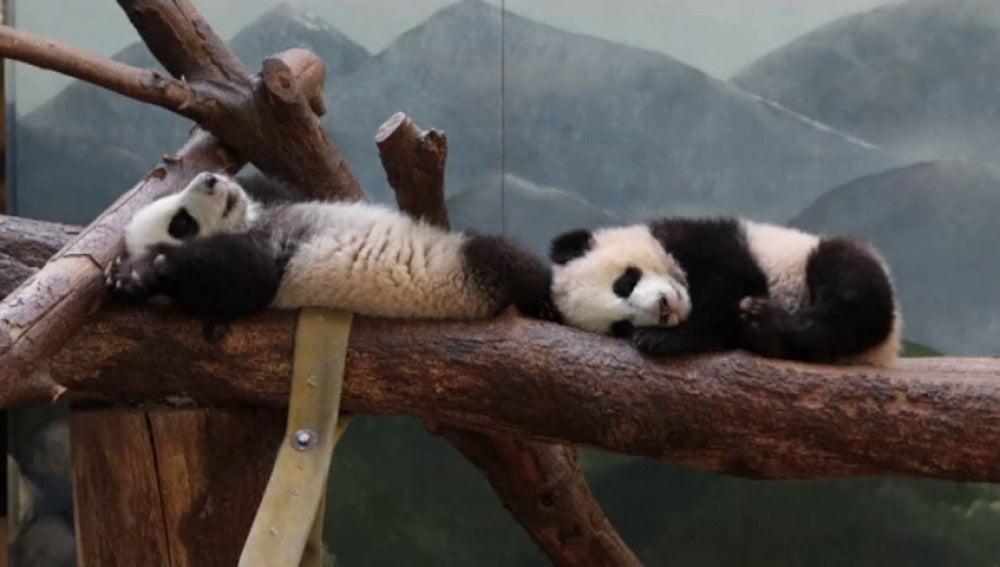 Frame 0.0 de: Así de divertidos juegan en su hábitat los dos únicos osos panda gigantes gemelos de EEUU