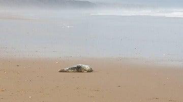 La cría de foca que recibió la paliza y fue salvada por una joven en Reino Unido