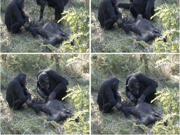 Dos chimpancés muestran duelo por otro fallecido