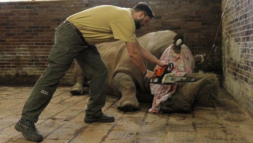 Un miembro del personal cortando el cuerno de un rinoceronte blanco