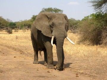 Ejemplar de elefante africano