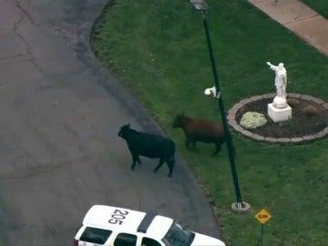 Frame 6.286222 de: Varias vacas se escapan de un matadero al dejarse la puerta abierta