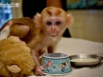 Mongkood, el macaco que se ha aferrado a dos peluches