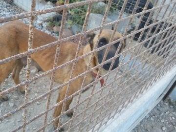 Uno de los perros maltratados y rescatados por la Guardia Civl