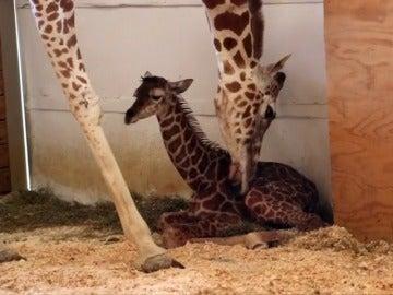 Frame 15.853359 de: Más de un millón de personas asisten al parto de una jirafa