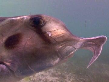 El tiburón elefante tiene un ADN muy similar al del ser humano