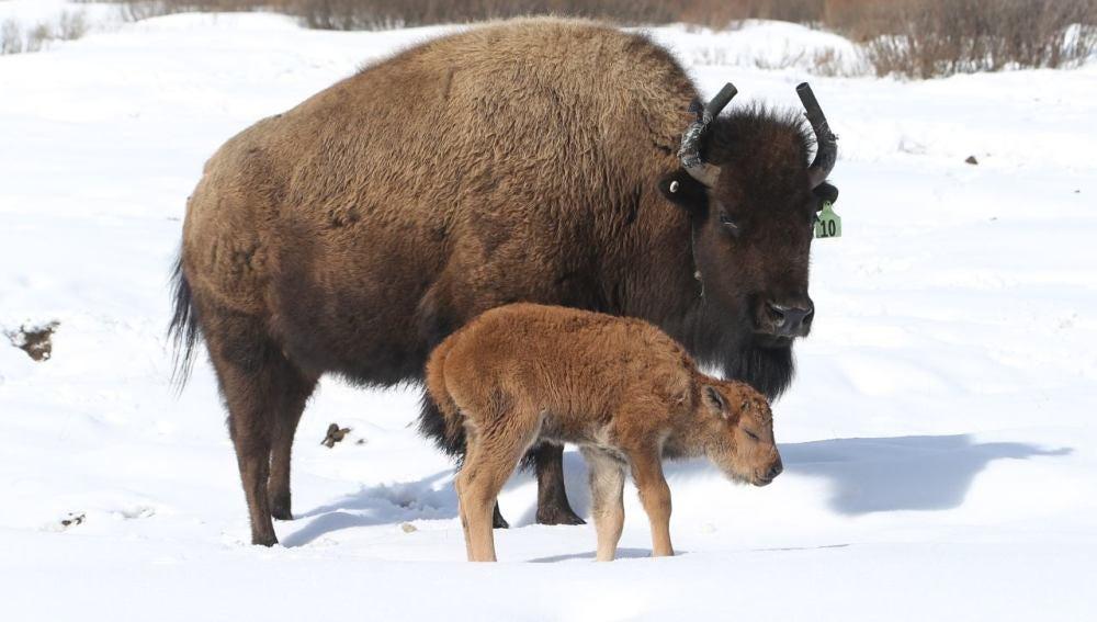 Primer bisonte nacido en el Parque Nacional de Banff de Canadá en 140 años