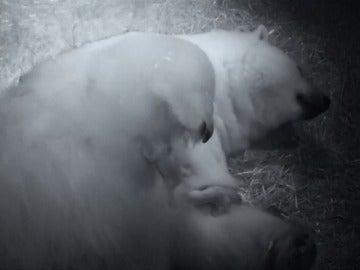Frame 64.568 de: Nacen dos crías gemelas de oso polar en Australia